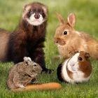 Kaninchen,Meerschweinchen,Ratten